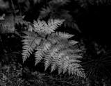 Wood fern.  Homer, Alaska.  CZ2A9778.jpg