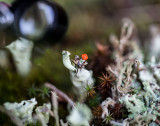 Match head or red coat lichen. CZ2A9925.jpg