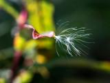 Seeds of fireweed. Fall. CZ2A1124.jpg