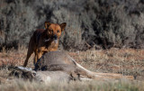 Wild dogs roam the reservation. Most are not aggressive and often find road kill to eat. IMG_6104.jpg