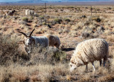 Sheep, a common site in Navajo country. IMG_6226.jpg