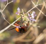 Big Master Blister Beetles Lytta magister.jpg