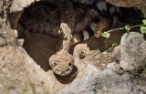 Western Diamondback Rattlesnakes. CZ2A7740.jpg