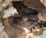 Western Diamondback Rattlesnakes. CZ2A7756.jpg