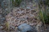 Western Diamondback Rattlesnake..jpg