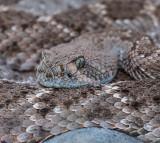 Western Diamondback Rattlesnake. CZ2A7862-2.jpg