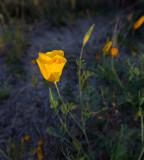 A Spring time poppy. CZ2A7853.jpg