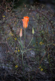 A lily in the desert with the setting sun providing the light. CZ2A8043.jpg