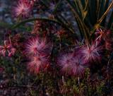 Desert flowers caught with the sun setting. CZ2A8112.jpg