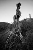 The skeleton of a Saguaro cactus. CZ2A9425.jpg
