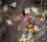 Iron Cross blister beetle. CZ2A0028.jpg