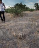 Male desert tortoise. CZ2A0549.jpg