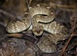 A very nice Black Tailed Rattlesnake. Catalina State Park, AZ. CZ2A1128.jpg