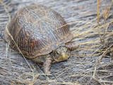 A rare  sighting of a Desert Box turtle, Catalina State Park. CZ2A1196.jpg