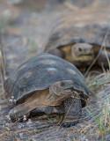 A pair of Desert Tortoises. CZ2A1332.jpg