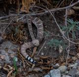 Mojave Rattlesnake.  RCZ2A1358.jpg