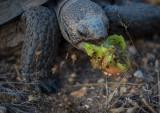 Desert tortoise eating cactus fruit. CZ2A1477.jpg