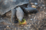 Desert tortoise eating cactus fruit. CZ2A1457.jpg