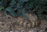 Tiger Rattlesnak (Crotalus tigris) CZ2A2148.jpg