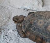 Desert tortoise eating natural occurring minerals. -2.jpg