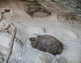 Desert tortoise eating natural occurring minerals. DSC01044.jpg