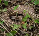 Tiger Rattlesnake. DSC01046.jpg