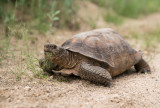 The largest desert tortoise I have seen, almost 16 inches long. DSC01354.jpg