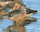 Dowitchers, Long-billed