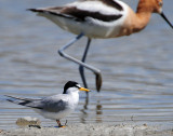 Tern, Least & American Avocet (Size Comparison)