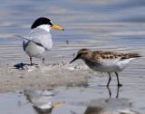 Tern, Least & Least Sandpiper (Size Comparison)