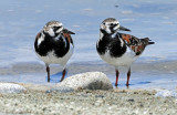 Turnstone's, Ruddy (May 11, 2013)