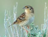 Sparrow, Grasshoper