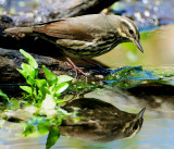 Waterthrush, Northern (May 19, 2013)