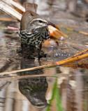 Waterthrush, Northern