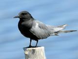 Tern, Black