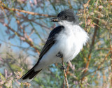 Kingbird, Eastern