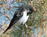 Eastern Kingbird (with a blush)