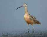Curlew, Long-billed (Nikon 7100 Camera--Nikon 300 f4 AF-S Lens))