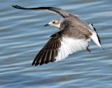 Gull, Sabin's (Sept 23, 2013) Juvenile