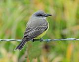 Kingbird, Tropical