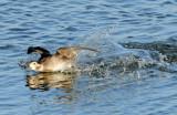 Ducks, Long-tailed