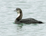 Loon, Pacific