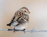 Sparrow, American Tree (1-19-2014)