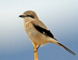 Shrike, Northern (3/07/2014)