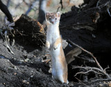 Weasel, Long-tailed