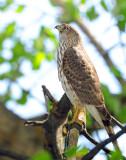 Hawk Sharp-shinned