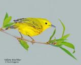 Warbler Yellow