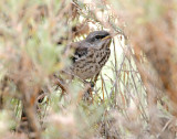Mockingbird, Northern (fledgling)