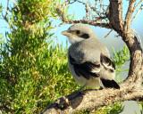 Shrike, Loggerhead (Fledgling)