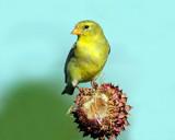 Goldfinch, American (Female)